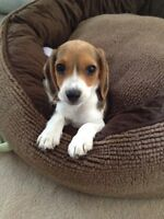 2 Year Old Miniature Beagle For Sale