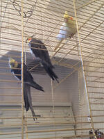 2 male and 1 female cockatiel for sale