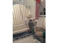 4 Budgies for sale