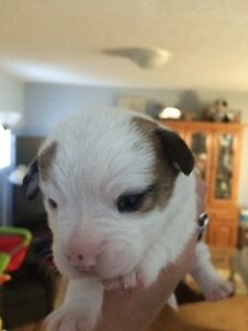 1 baby puppies left (boy)
