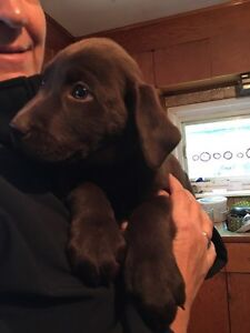 Male Chocolate Lab puppies
