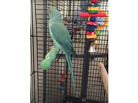 10 month old indian Ringneck with cage and toys
