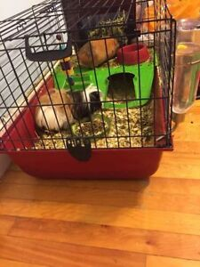 'Adopted' 2 female guinea pigs, cage, and all supplies, free