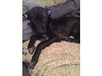 Staffie x bull terrier (princess)