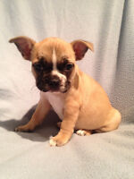 French Bulldog x Boston Terrier Puppies
