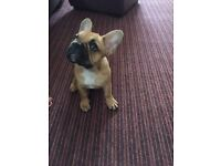 French bulldog for sale!