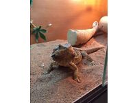 bearded dragon and tank