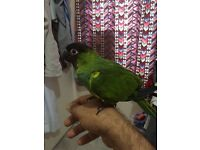 Fully handreared super tamed nanday conure