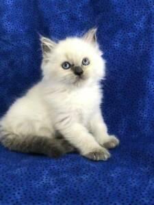 Handsome Blue Eyed Ragdoll Kitten