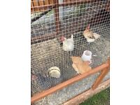 Hens for sale £30