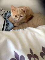 CUTE CAT FOR SALE Exotic Shorthair