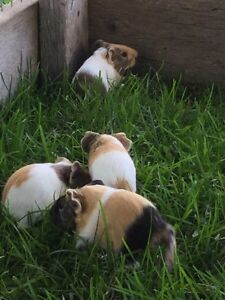 Adorable baby Guinea pigs Peterborough Peterborough Area image 3