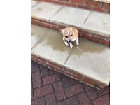 Three quarter chihuahua and Jack Russell female Dog for sale