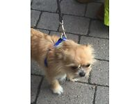Lovely chihuahua x boy for sale