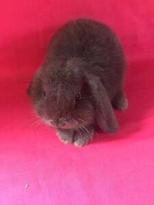 ☺☺ Purebred Mini Lop Baby Rabbits ☺☺Vaccinated☺☺ Londonderry Penrith Area Preview