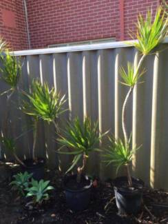 Dracena plants HEALTHY Waterford South Perth Area Preview