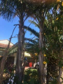 Palm trees-2x, medium sized-free, you remove Dianella Stirling Area Preview