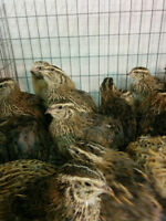 Quail eggs, Breeding pens,and quail for sale