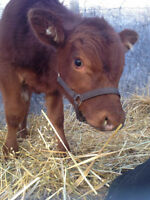 Yearling Red Angus Bull