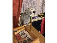 HAND TAME African GRAY with cage