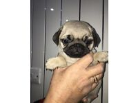 Pug Puppies Kc Registered (Updated 02/12/16