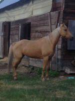 Beautiful palomino quarter horse for sale