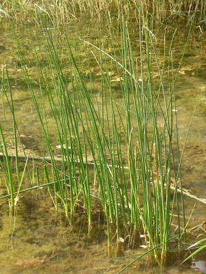 3 Pflanzen große Teichsimse SCIRPUS LACUSTRIS Wassertiefe 5 bis 25 cm