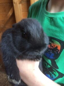 8 week old bunny for sale