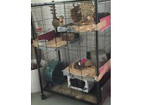 Two (2) gorgeous female Degus with cage and accessories