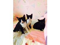 3 beautiful boys & girls kittens 9 weeks old been wormed de flead 😍💙❤️