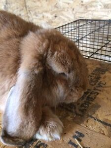 Pedigreed French lop doe
