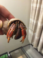 hermit crab for sale