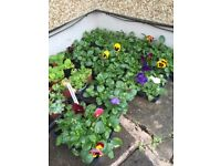 Winter flowering bedding plants many available