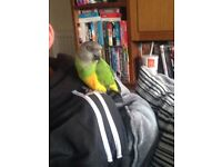 12 month old Senegal parrot