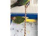 kakariki bird