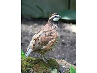 Northern Bob White Quail. £10 a pair.