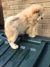 Cream cuddly chow Chiw pups