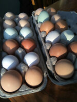 Farm Fresh Eggs from Heritage Chickens