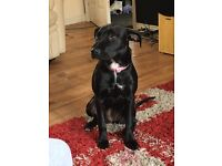 Lab/staffie pup needing rehomed