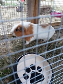 for sale male guinea pigs