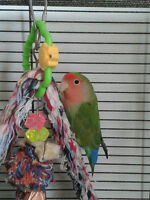 Lovebird (young) complete with setup (semi tame)