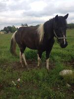 chevaux (jument)
