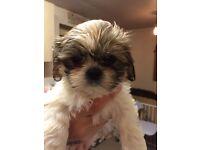 Shih Tzu cross Bichon puppies