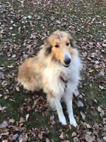 """Adult Male Dog - Collie: """"Norman"""""""