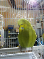 Breeder ENGLISH budgie males (not tame)