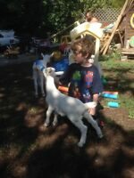 2 Billy Saanen goats for sale