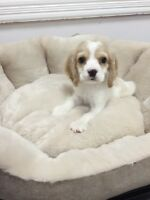Sweet Poo x cocka puppy for sale-only one male left
