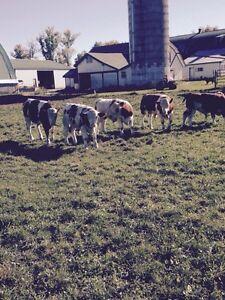 Veal calves for sale Stratford Kitchener Area image 5