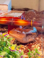 Blue Tongued Skink Needs New Home