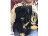 Pedigree Lhasa apso puppies